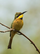 A Little-Bee Eater (Merops pusillus) searching the skies