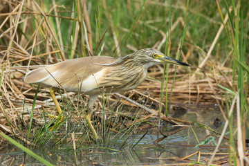 Squacco Heron (Ardeola ralloides) in a marsh