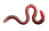 Fototapety Earth worm isolated