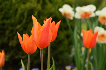 Blossoming orange Tulip in a garden