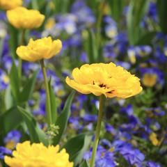 Gelbe Blume inmitten von Veilchen