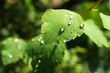 Green leaves with raindrops close up