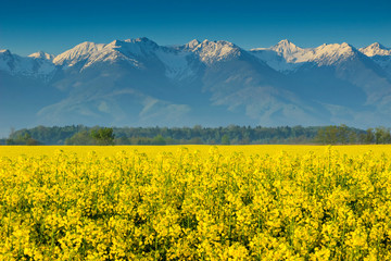 Canola field and high snowy mountains,Fagaras,Romania