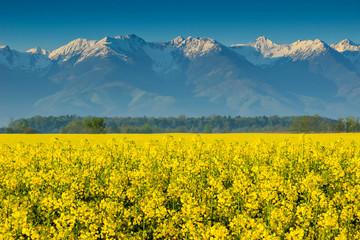 Canola field and high snowy mountains,Fagaras,Romania