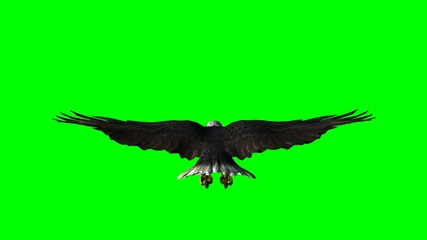 bald eagle in flight  - green screen