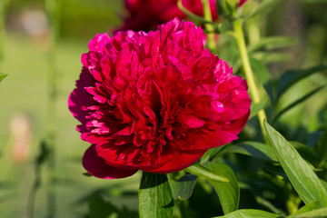 peonies, red flowers in the garden