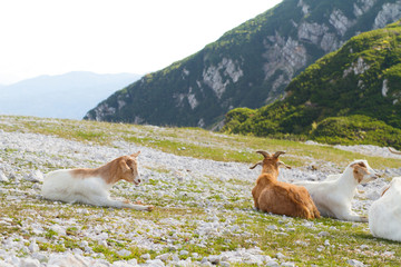 goats on the mountain