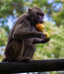 Pavian beim Apfel essen
