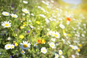 daisy field close up