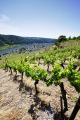 Vineyards at the Mosel, Germany