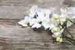 White orchid(Phalaenopsis )