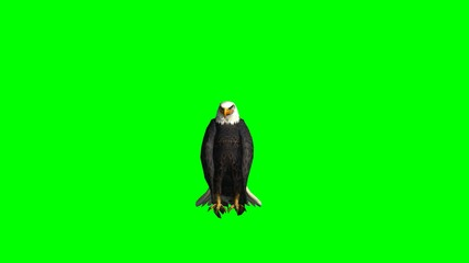 bald eagle sits and looks around - green screen