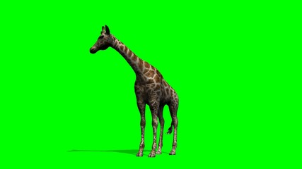 Giraffe looks around - green screen