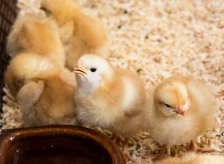 Rearing small chicks