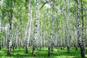 Spring birch forest