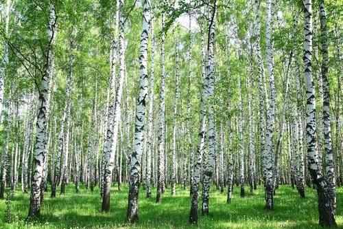 Spring birch forest - 65462101
