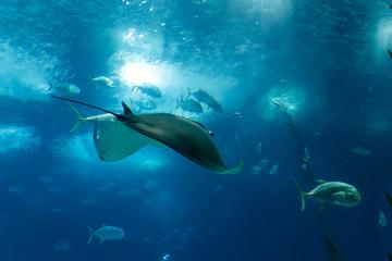 Big Ocean ray