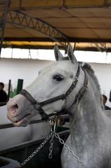Lipizzan horse