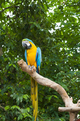 Blue and Yellow Macaw (Arara parrots)
