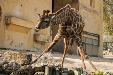 Giraffe in Lisbon Zoo