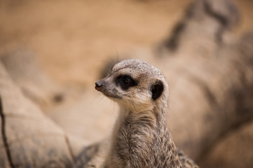 The meerkat or suricate in Lisbon Zoo