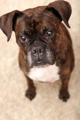"""boxer, dog, canine, portrait, friend"""", love,"""