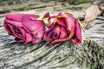 Two dried roses on old wooden board