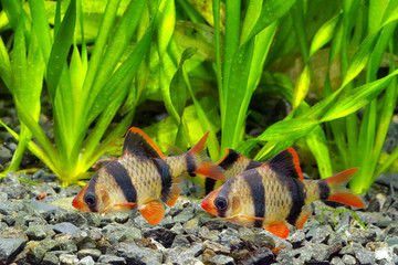 Flock of tiger barb
