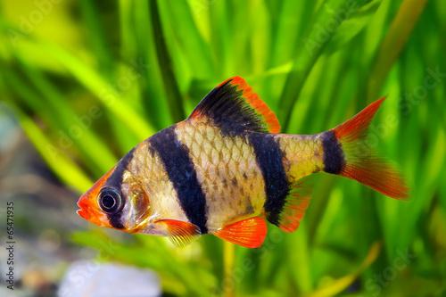 Tuinposter Tijger Tiger barb or Sumatra barb fish