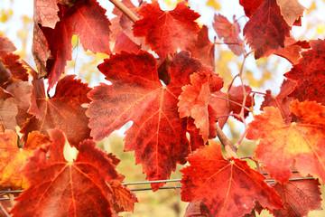 Vite, foglie