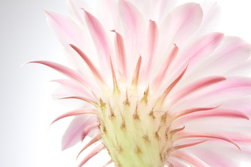 Light  pink cactus flower .