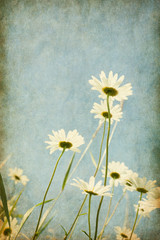 Chamomiles against blue sky. Added paper texture.