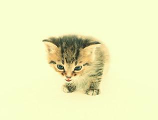 Kitten licks lips on white background