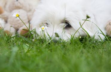 Kleiner weiser Hund: Coton de Tuléar als Hintergrund