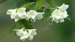 Flower of Jasmine and  poplar fuzz