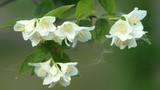 Flower of Jasmine and  poplar fuzz