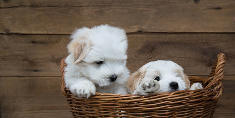 Kleine drollige Hunde Welpen als Holz Hintergrund