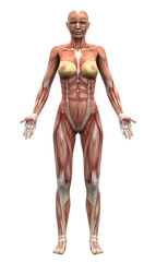 Female Anatomy Muscles - Anterior view
