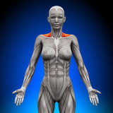 Trapezius Front  Neck Muscles - Female Anatomy poster