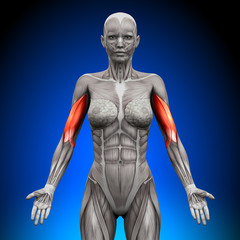 Biceps - Female Anatomy Muscles