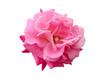 Obrazy na płótnie, fototapety, zdjęcia, fotoobrazy drukowane : bright beautiful  pink rose