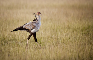 Secretary bird walking in tall grass