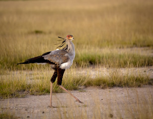 Secretary bird walking on savanna