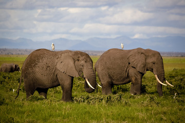 Two elephants grazing with birds
