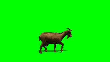 Goat walks - green screen