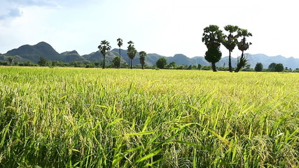 Rice field in the wind
