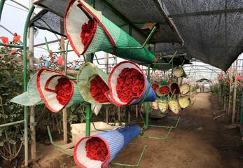 Roses Harvest, plantation in Tumbaco, Cayambe, Ecuador