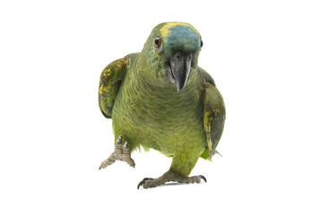 Blue fronted Amazon parrot isolated on white background.