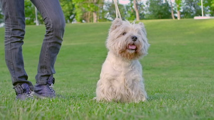 West Highland White Terrier standing