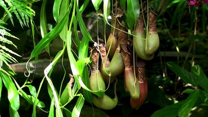 Pitchers of Nepenthes  (Insectivorous Plant).
